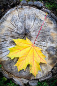 Maple Leaf in Autumn (Acer platanoides) — Stock Photo