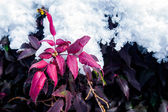 Red Leaves under the Snow — Stok fotoğraf