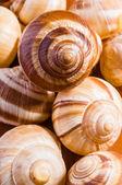 Snail Shells — Stock Photo