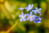 Myosotis Sylvatica — Stock Photo