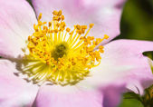 Pink Eglantine — Stock Photo