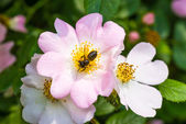 Eglantine and Bee — Stock Photo