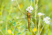 Yellow Dragonfly — Stock Photo