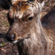 Stock Photo: Deer Buck