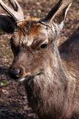 Deer Buck — Stock Photo