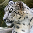 Portrait Snow Leopard — Stock Photo #19887653