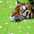 Bengal Tiger in the Water - Stock Photo
