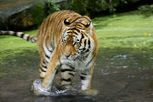 Bengal Tiger in the Water — Stock Photo