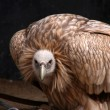 Stock Photo: Vulture