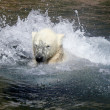 Ice- or Polar- Bear — Stock Photo #19997367