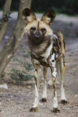 African Wild Dog — Stock Photo