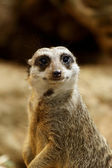 Meerkats Portrait — Stock Photo