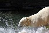 Ice- or Polar- Bear — Stock Photo