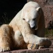 Stock Photo: Ice- or Polar- Bear