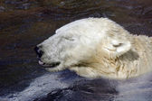 Ice- or Polar- Bear — Stock Photo