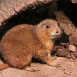 Prarie dog  — Stock Photo