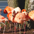 Flamingo — Stock Photo #24378587