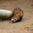 Ferret — Stock Photo