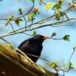 Turdus merula or  Common Blackbird — Stock Photo