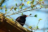 Turdus merula or Common Blackbird — Stock Photo