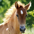 Young horse — Stock Photo