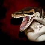 Snake — Stock Photo #38167571