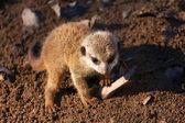 Meerkat — Zdjęcie stockowe