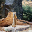 Mongoose — Stock Photo #39574047