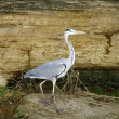Heron — Stock Photo #39574369