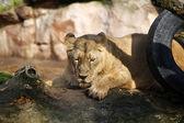 Dişi aslan — Stok fotoğraf