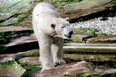 Bear — 图库照片