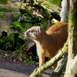 Mongoose — Stock Photo #41379013
