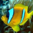 Stock Photo: Red Sea Anemonefish (amphiprion bicinctus)