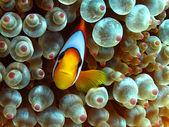 Anemonefish — Stock Photo
