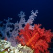 Stock Photo: Soft Coral