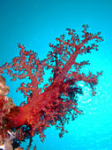 Soft Coral — Stockfoto