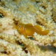 Citron coral goby — Stock Photo