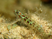 Spotted pygmy goby (Eviota guttata) — Stock Photo