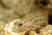Shrimp Goby — Stock Photo