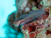 Red Sea combtooth blenny. (Ecsenius dentex) — Stock Photo