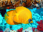 Masked Butterflyfish (Chaetodon semilarvatus) — Stock Photo