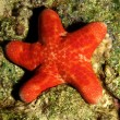 Grainy cushion star ( choriaster granulatus) — Stock fotografie