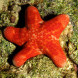Grainy cushion star ( choriaster granulatus) — Stock Photo