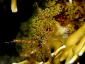 Soft Coral Spider Crab (Achaeus spinosus) — Stock Photo