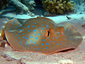 Bluespotted stingray — Stock Photo