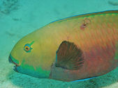 Rusty parrotfish (Scarus ferrugineus) — Stockfoto