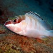 Blacktip grouper — Stock Photo