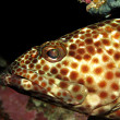 Stock Photo: Greasy grouper