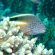 Freckled hawkfish — Stock Photo