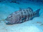 Coral Grouper — Stock Photo
